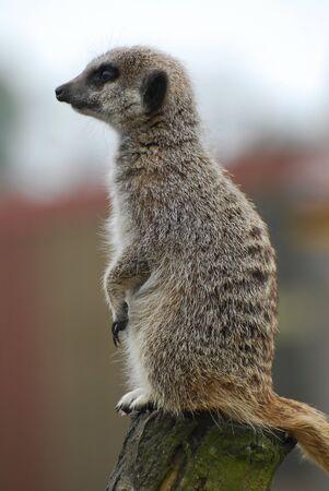 A meerkat in profile looking alert
