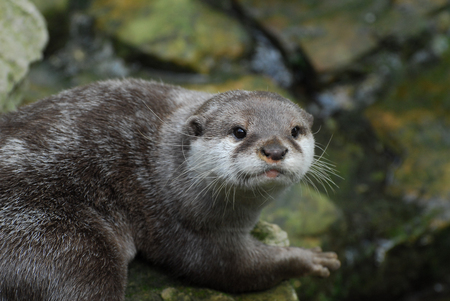 An Otter staring at the photographer