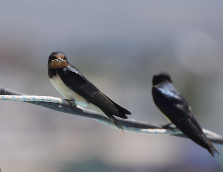 Two Swallows make a summer Stock Photo