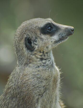 Portrait of a Meerkat in a zoo