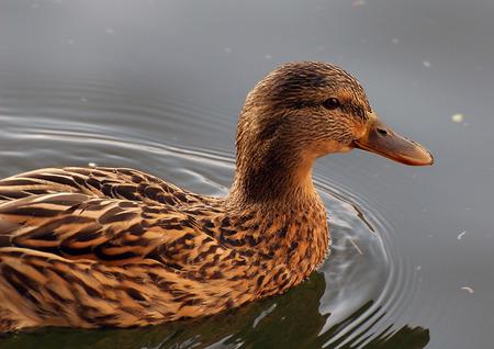 A Female Mallard swimming on a lake