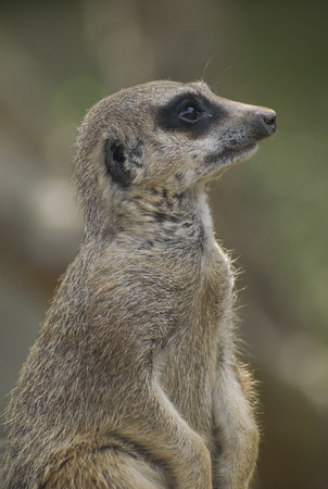 A Cute Meerkat looking curiously Stock Photo