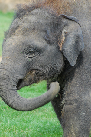 A young Indian Elephant Calf
