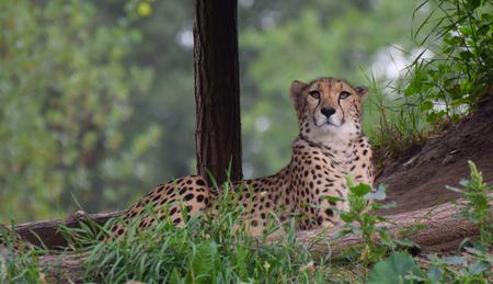 A Cheetah laying down in teh shade