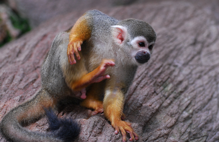 Cute Squirrel monkey scratching itself with its rear leg