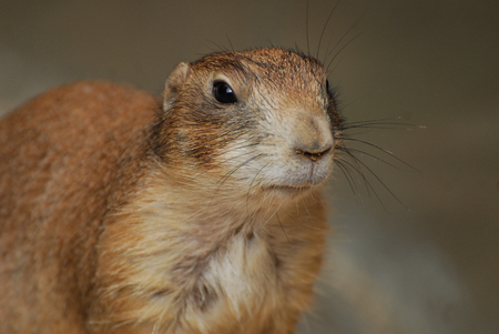 Close up portrait of a Cheeky groundhog