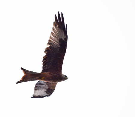A Red Kite flying through grey skies in Reading