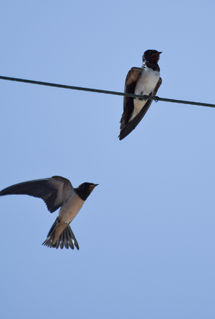 Two Barn swallows sat on a telephone line in Cyprus