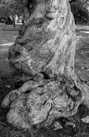 The bark of the indian bean tree in the grounds of Reading Minster, known loacally as the trippy tree Stock Photo