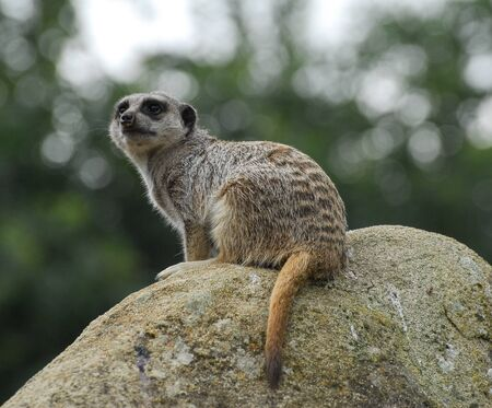 A meerkat sat on a rock watching attentively