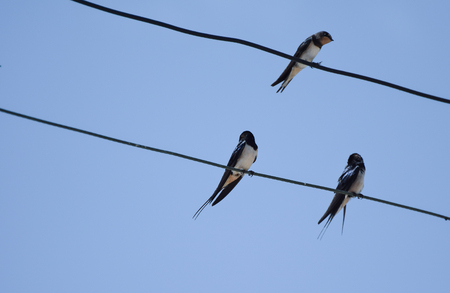 Three Barn swallows sat on a telephone line in Cyprus