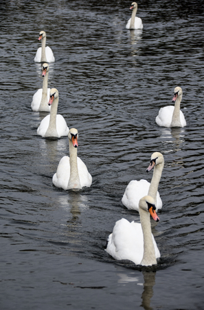a Herd of eight swans swimming on the River Thames