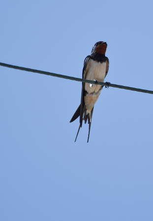 A Barn swallow sat on a telephone line in Cyprus