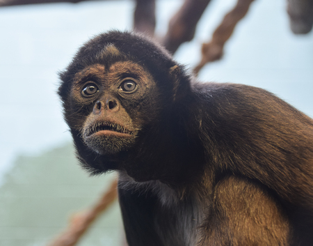 A Brown Spider monkey looking behind the photographer