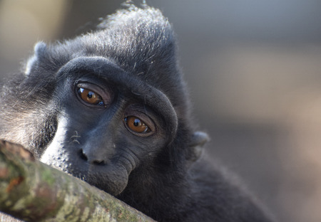 Portrait of a macaque monkey chewing on a tree branch