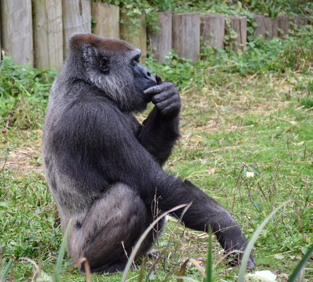 A Western Lowland Gorilla in a thoughtful pose