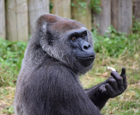A Western Lowland Gorilla looking at the camera whilst eating Stock Photo