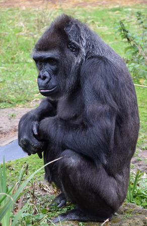 A Western Lowland Gorilla sitting and looking thoughtful