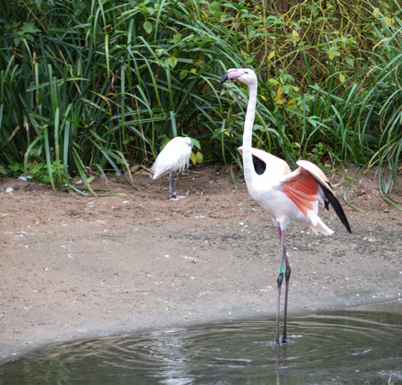 オオフラミンゴは、小さな白鷺が見守るその翼を広げる