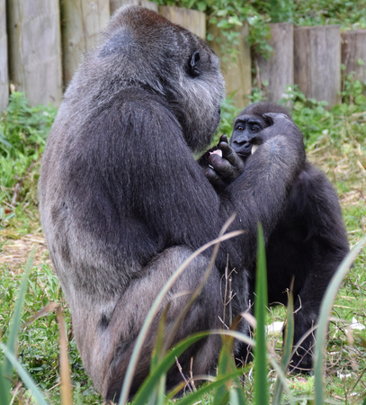 A Western Lowland Gorilla Eats with its young watching closely