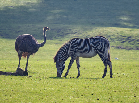 A Greater Rhea and a Grevys Zebra in a grassy field Stock Photo