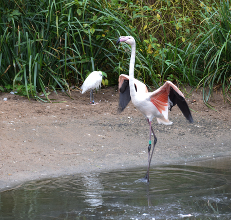 A Greater Flamingo spreads its wings watched by a little Egret