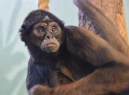 A portrait of a spider monkey Looking to the right