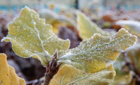 Leaves of a hedge rimed in frost on a cold winter morning Stock Photo