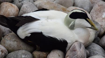 An eider duck sitting on some rocks