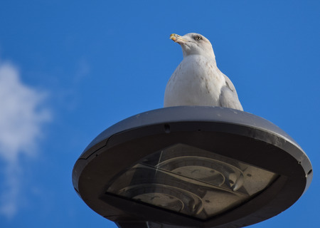 A Herring Gull sat on a modern lamp post Фото со стока