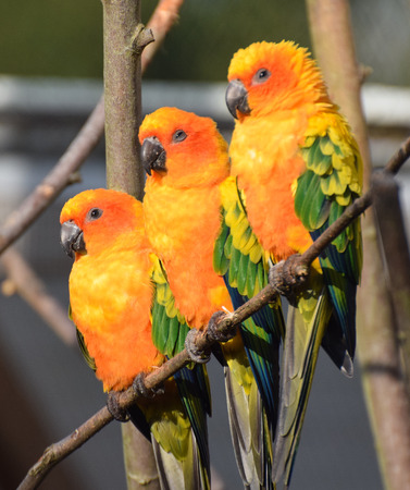 Three brightly coloured sun parakeets perched together