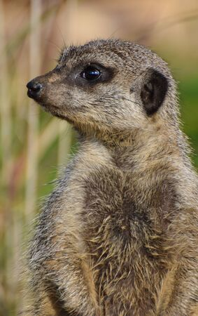 Portrait of a Meerkat looking to the left of the photo Stock Photo