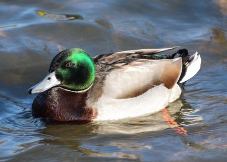 A Portrait of a male mallard swimming on a lake