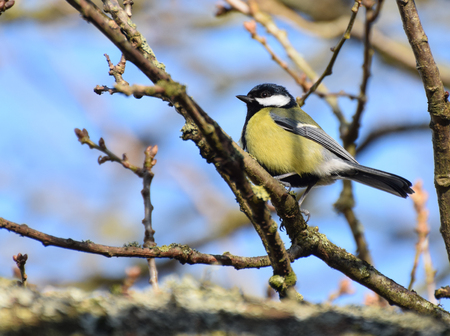 A great tit perching on a twig