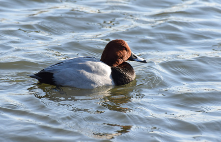 Portrait of a Pochard Duck Swimming on a lake Stock Photo
