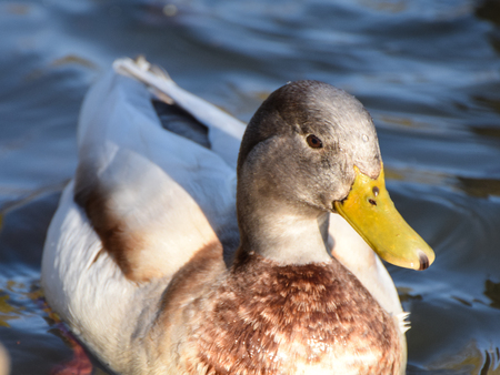 Portrait of a Gadwall Duck swimming in a lake