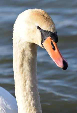 Portrait of a Mute Swan swimming on a lake