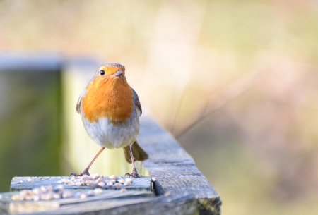 A Robin Redbreast feeding on a fence post
