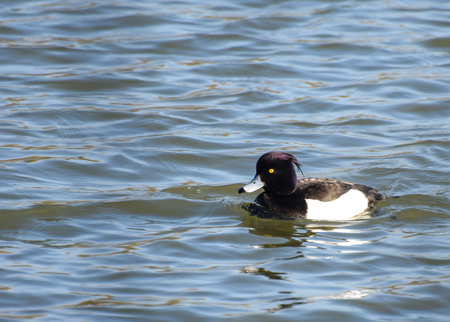 A Tufted Duck swimming on a lake Stock fotó