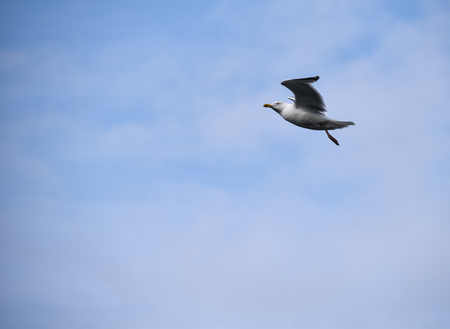 A Herring Gull flyiing on a cloudy day