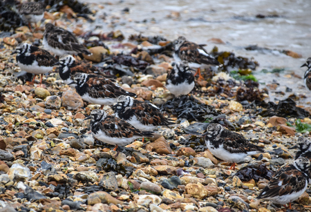 A flock of ruddy turnstones on the foreshore looking for food