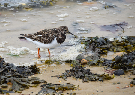 A Ruddy turnstone forages on the shoreline in Lepe near Southampton Stock Photo