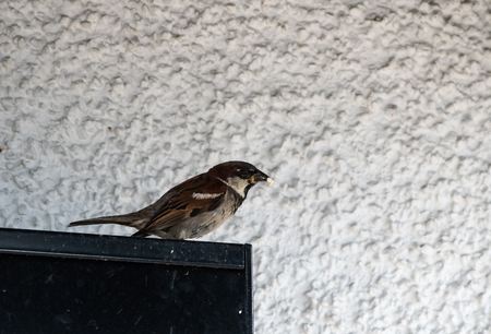 A Barn Swallow with a small piece of bred in its beak