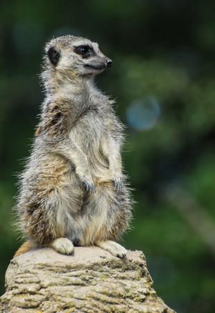 A meerkat sat atop a rock looking right