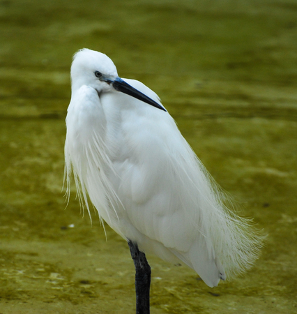 A portrait of a little egret stood in a pool