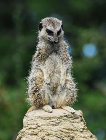 A meerkat sat atop a rock looking down Stock Photo
