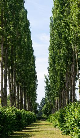 La vista de una avenida de álamos Foto de archivo