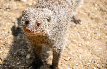 A portrait of a Banded Mongoose