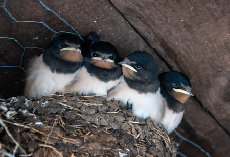 Four barn swallow chicks sat in their nest under an  archway in Gretna Green Stock Photo
