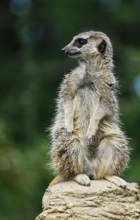 A meerkat sat atop a rock looking left